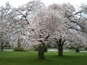 April 8, 2013, Queen Elizabeth Park, Vancouver